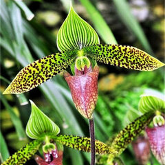 120Pcs/Bag Rare Black Orchid Flowers Exotic Spieces Orchid Seed Easy Grow Seedlings
